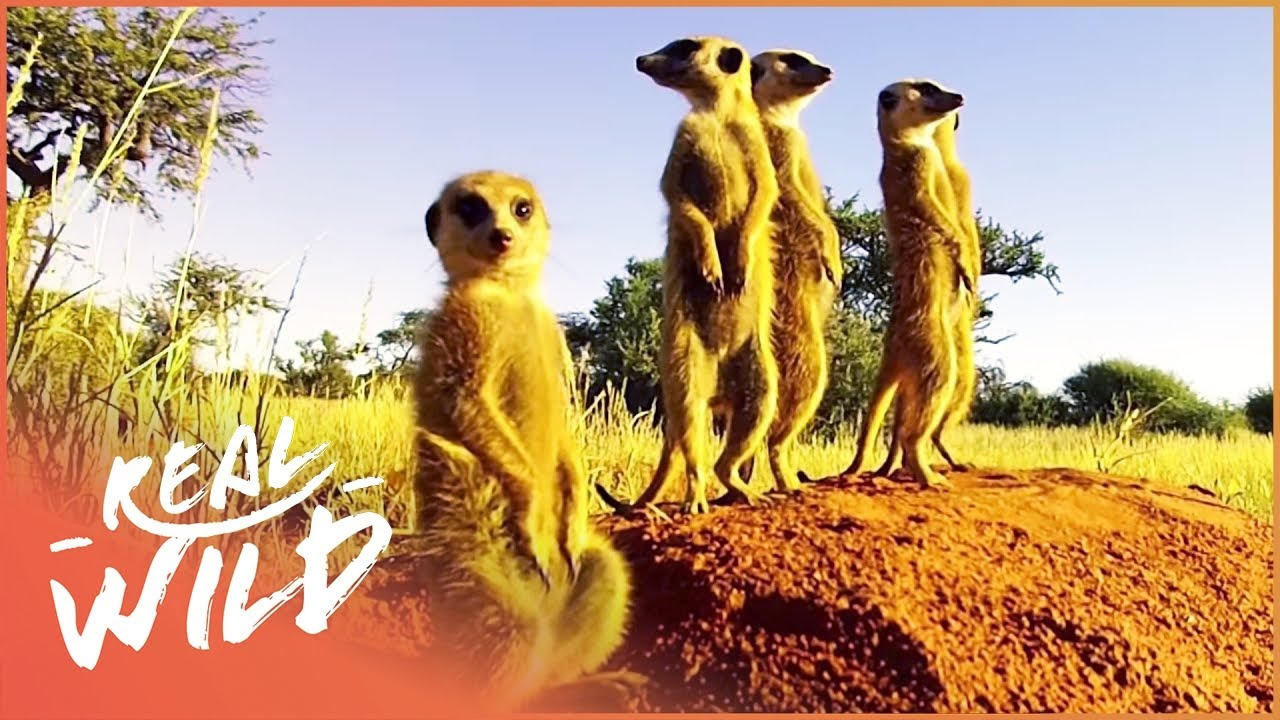 Kalahari Meerkats: Meet The Gosa Gang ! | Real Wild