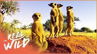 Kalahari Meerkats: Meet The Gosa Gang [Desert Wildlife Documentary] | Wild Things