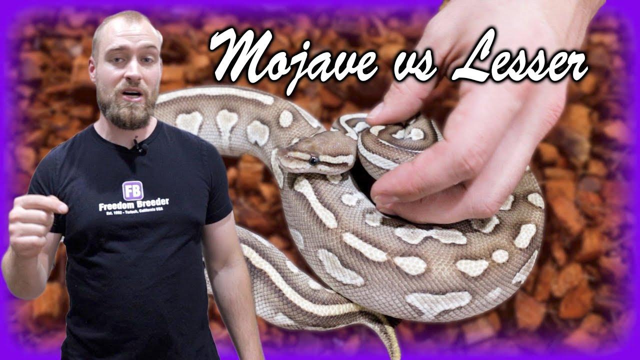 Download Mojave vs Lesser Gene Explained - Ball Pythons