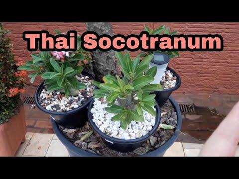 Thai Socotranum evolução/crescimento
