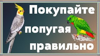 Главная ОШИБКА при покупке попугая.Что нужно знать перед тем как купить попугая кореллу и не только.