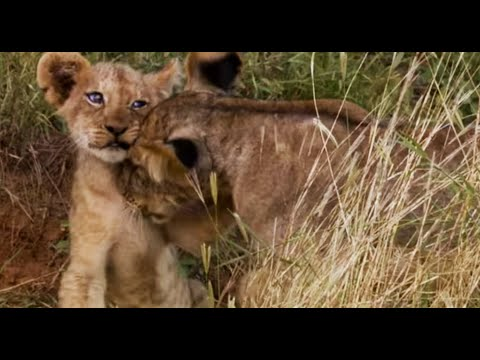 Lion Cubs Fight To Feed | This Wild Life | BBC