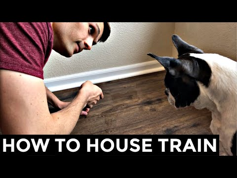 How To Potty Train A Boston Terrier  5 Steps To Housebreak Your Dog