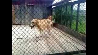 Русские гончие собаки видео