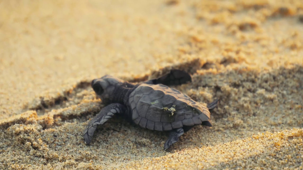 Baby Sea Turtle Release In Mexico Youtube
