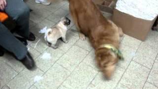 Baby Pug Vs. Golden Retriever (funny)
