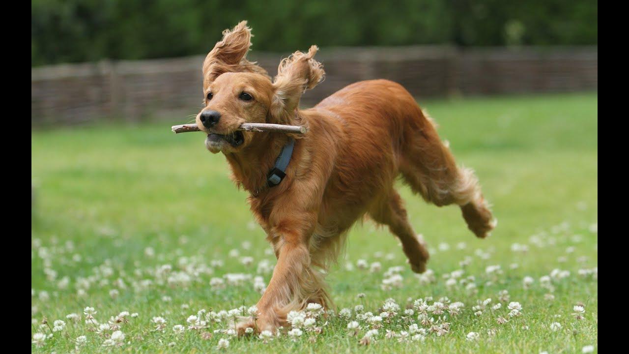фото собаки кокер спаниель