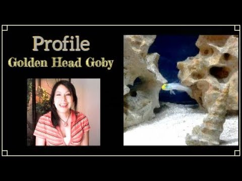 Profile: Golden Head Goby