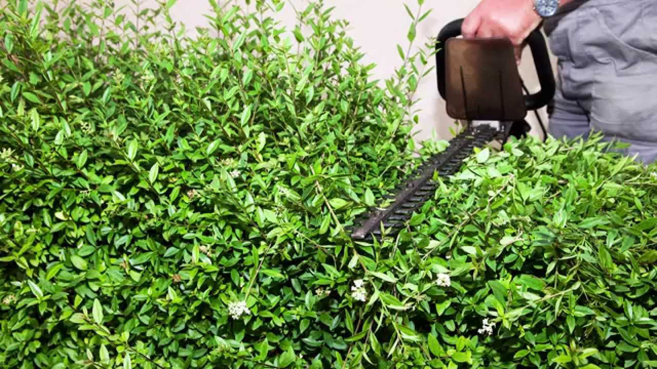 How to Remove a Privet Hedge images