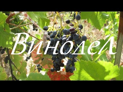 Варенье из винограда на зиму 6 рецептов виноградного