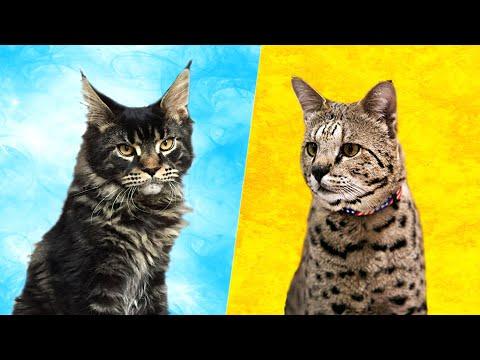 Savannah Cat vs Maine Coon - What Are the Differences?