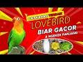 Makanan Burung Lovebird Biar Gacor Dan Ngekek Panjang Kicau Q  Mp3 - Mp4 Download