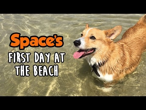 Space Corgi's First Day At The Beach