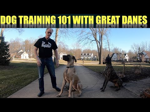 Dog Training 101 with Finn & Magic the Great Danes