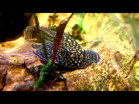 The TRUTH About Keeping And BREEDING HILLSTREAM LOACHES (They Lied To You) - Sewellia Care Guide