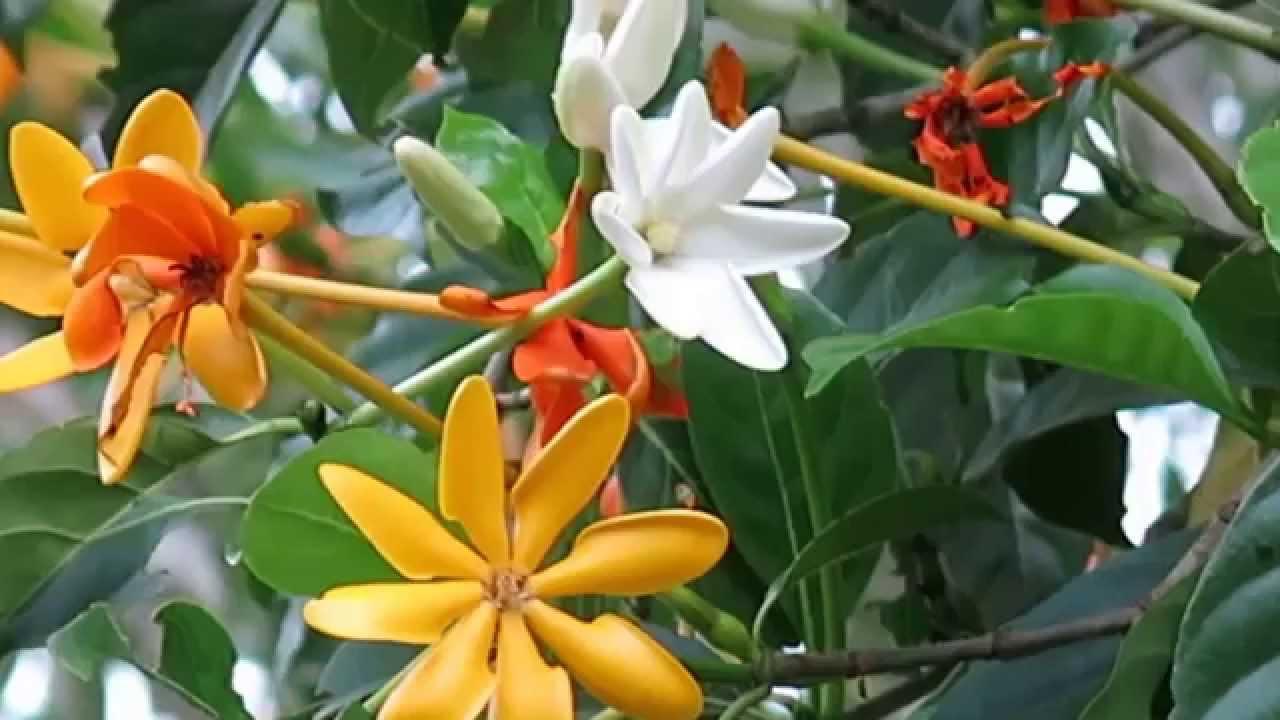 I love flowers beautiful golden gardenia first hint white turns youtube premium mightylinksfo