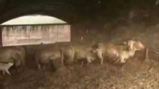 Bovins viande: le tunnel, un bâtiment économique - reportage agricole
