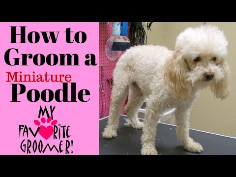 How to Groom a Poodle Senior