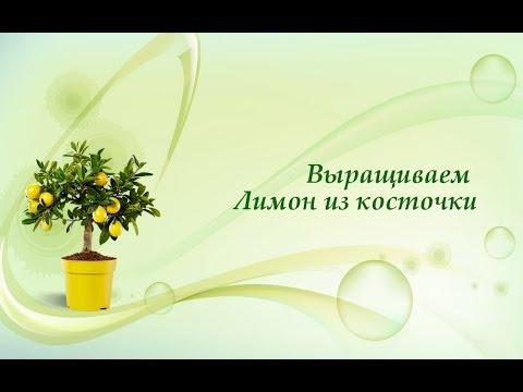 Сажаем лимон из косточки. Быстрые всходы цитрусовых сеянцев .