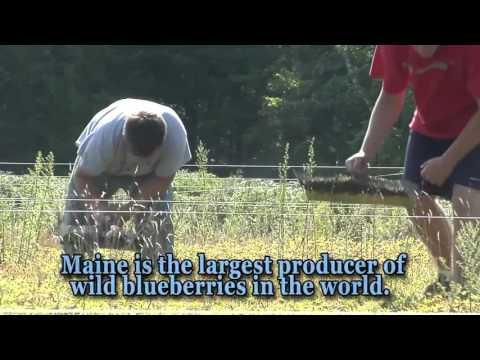 The Health Benefits of Wild Blueberries