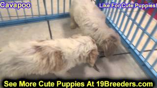 Cavapoo, Puppies, For, Sale, In, Portland, Oregon, OR, McMinnville, Oregon City, Grants Pass, Keizer
