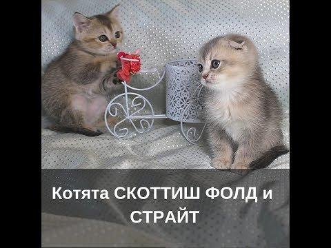 Котята Скоттиш Фолд и Скоттиш Страйт. Купить. Продажа
