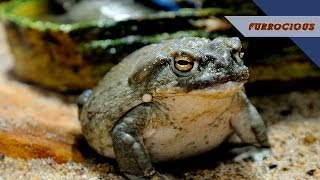 Bullfrogs are (Literally) The Worst Pets
