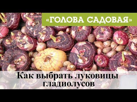 Голова садовая - Как выбрать луковицы гладиолусов