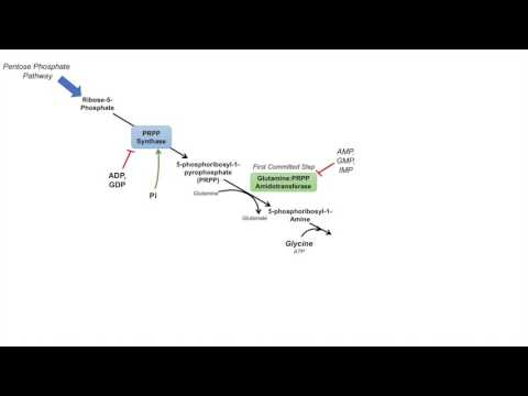 Purine Synthesis And Salvage Pathway