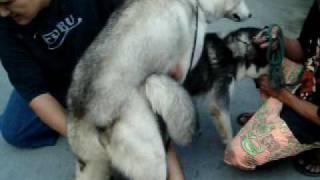 Siberian Husky Phil. Ch. Yano Mating