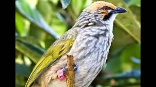 Download Mp3 Suara Cucak Rowo Gacor Untuk Masteran Dan Pancingan Burung Ocehan