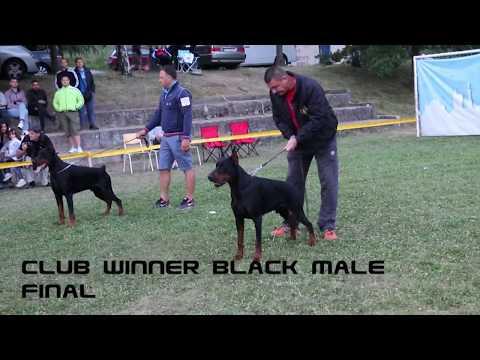 EUROPEAN DOBERMANN ALL STAR GRAND PRIX - SERBIA - CLUB WINNER BLACK MALE