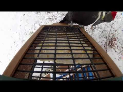 Gopro Woodpeckers: Male and Female land. Great Audio
