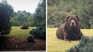 Thick Dog Looks Like Bear