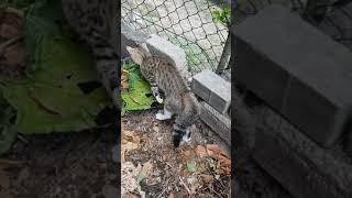 Маленькая кошка первый раз встретила черного кота. Обратите внимание на хвост кошки