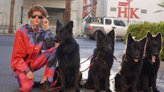 Pack Of 5 Dogs Off Leash On Hollywood Blvd!!!
