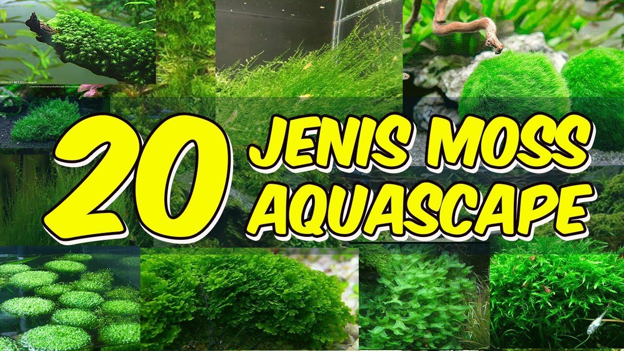 20 Jenis Moss Aquascape Youtube
