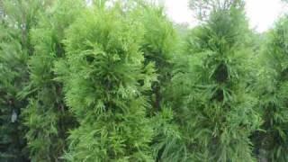 Plant a fast Growing Screen as a windbreak