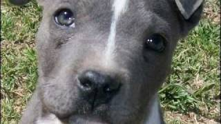 American Pit Bull Terrier - Cachorro Blue Nose
