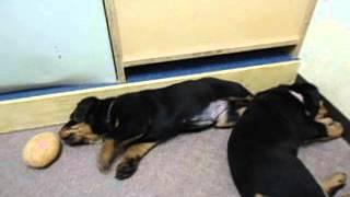 アットブリーダーにて販売中!http://www.at-breeder.net/rottweiler/in...
