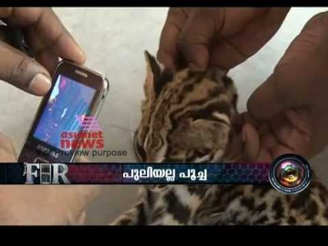 """Leopard Cat"" Frightens People In Angamuzhi , Pathanamthitta"