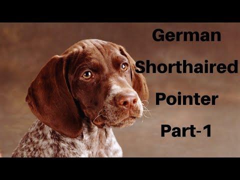 German Shorthaired Pointer Dog video