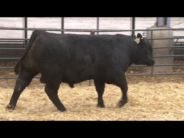 Schiefelbein Angus Farms Lot 186