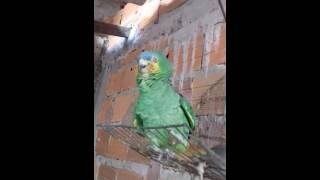 Papagaio De Viatura ( Papagaio imita sirenes da Polícia)