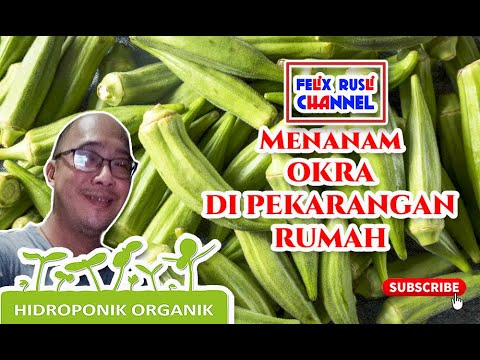 Hidroponic Organic - Menanam Okra Dari Biji Di Rockwoll #hydroponic #tutorialhydroponic