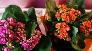 Каланхое Каландива. 13.02.17. Был уже и действительно очень долго цветёт!)