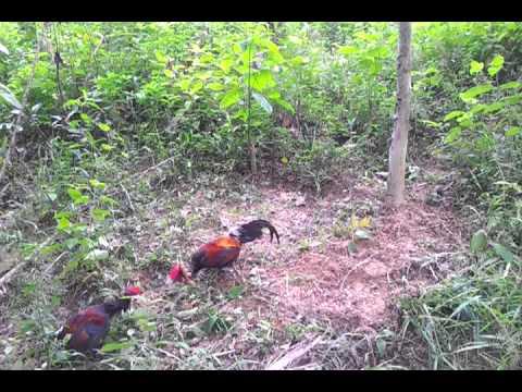 Ayam 3 Lapis Tapau No 11 - Jerantut