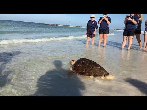 Loggerhead Sea Turtle Release at Honeymoon Island - Waffle Crisp