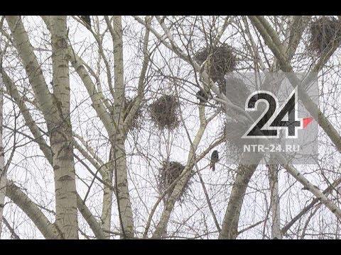 Вопрос: Заселяются ли вороны в старые гнезда?