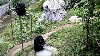 Gorilla in Chongqing falls in love with washing clothes